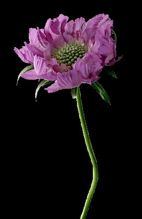 tubes fleurs bleurs mauves