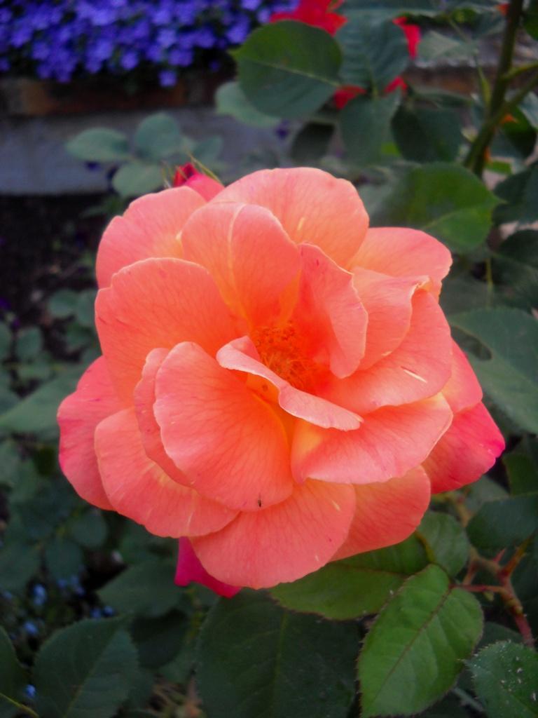 fond ecran roses mes photos - Page 19