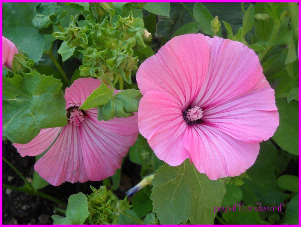Fonds ecran fleurs mes photos page 22 - Fleur de jachere ...